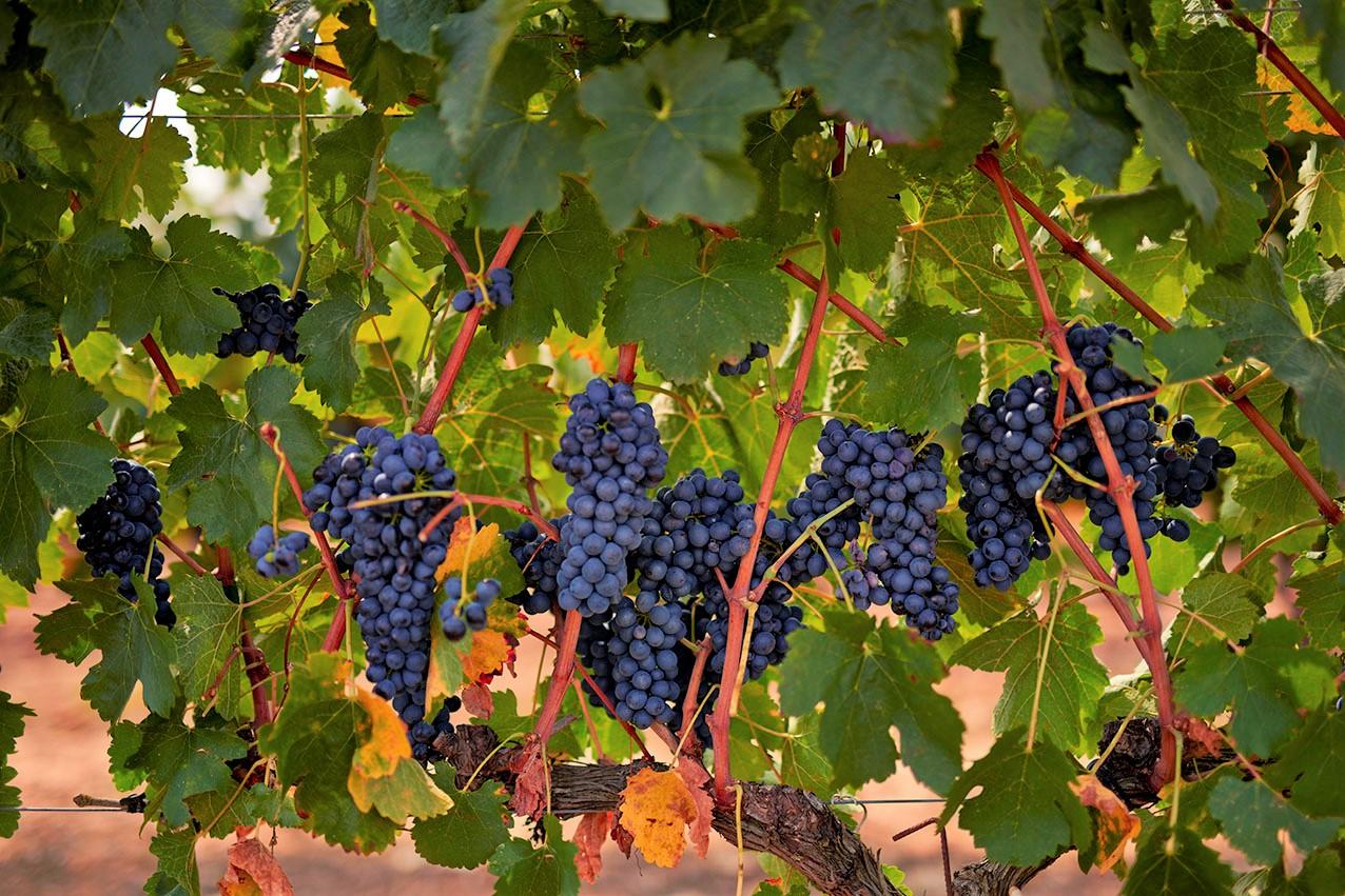 北スペインのブドウ